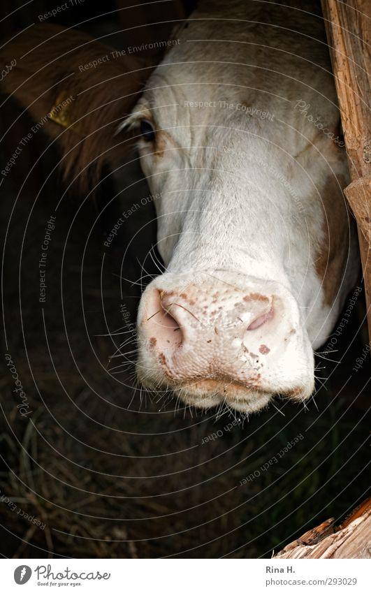 Holt mich hier raus !! Landwirtschaft Forstwirtschaft Nutztier Kuh Rind 1 Tier warten Traurigkeit Einsamkeit Verzweiflung Wunsch hoffen Stall Schnauze