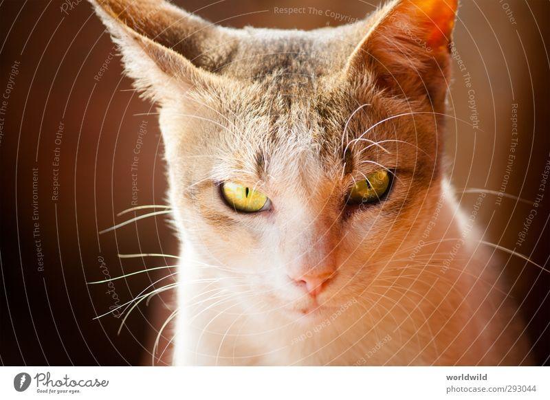 katzenblick Tier Haustier Katze Tiergesicht 1 beobachten ästhetisch kuschlig grau weiß Tierliebe Auge Gesichtsausdruck Blick Farbfoto Außenaufnahme Tierporträt
