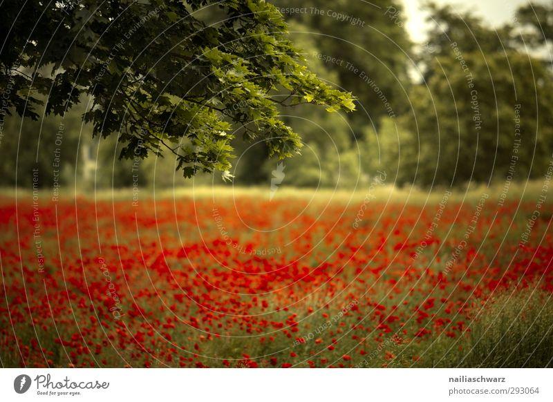 Mohnfeld Natur grün schön Sommer Pflanze Baum rot Blume Landschaft Erholung Umwelt gelb Wiese Glück Garten natürlich
