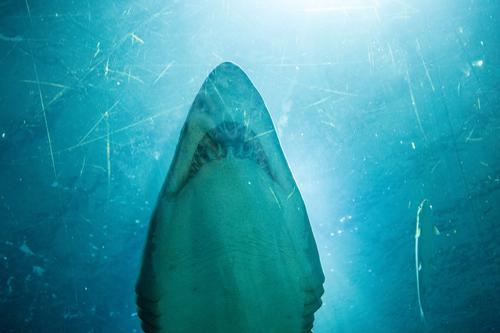 Shark-Tank Tier elegant Wildtier ästhetisch Zähne Schwimmsport Aquarium Haifisch Jäger beeindruckend