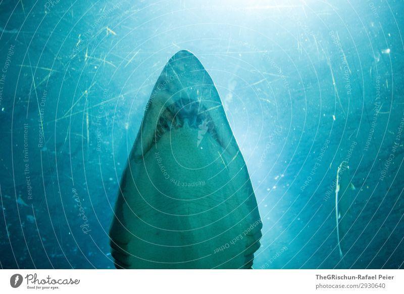 Shark-Tank Tier Wildtier 1 ästhetisch Haifisch Zähne beeindruckend Aquarium elegant Jäger Schwimmsport Froschperspektive Farbfoto Innenaufnahme Menschenleer
