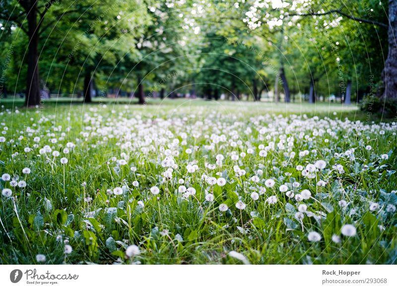 Pustewiese Natur grün weiß Pflanze Baum Blume Landschaft ruhig Erholung Umwelt Wiese Gras braun Park Ausflug Löwenzahn