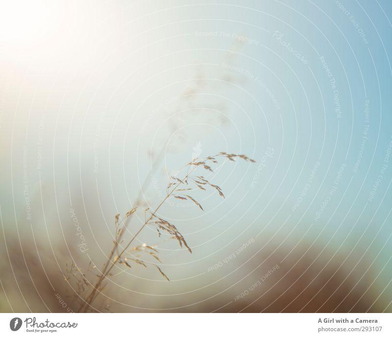 warme, sommerliche Gedanken Umwelt Natur Pflanze Frühling Sommer Herbst Schönes Wetter Gras Wiese leuchten Getreide Halm Gedeckte Farben Außenaufnahme