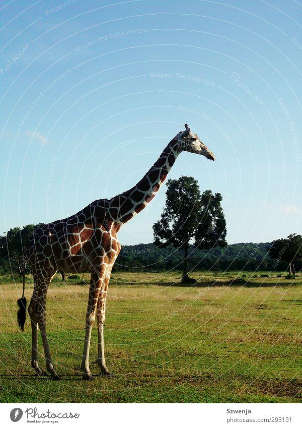 Safari II Umwelt Natur Landschaft Sommer Schönes Wetter Wärme Wildtier Zoo Giraffe 1 Tier Erholung Farbfoto mehrfarbig Außenaufnahme Menschenleer Tag