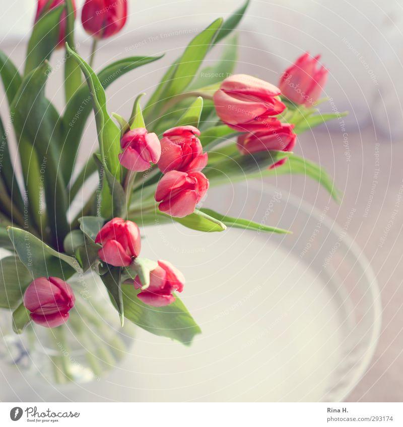 Der Frühling naht Blume hell rosa frisch Fröhlichkeit Lebensfreude Blühend Blumenstrauß Quadrat Tulpe Vorfreude