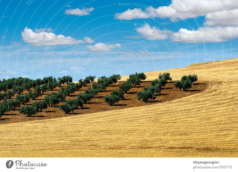 Ölbäume in einer Reihe anordnen. Bepflanzung und bewölkter Himmel Gemüse Frucht Garten Kultur Natur Landschaft Pflanze Erde Baum Blatt alt natürlich braun grün