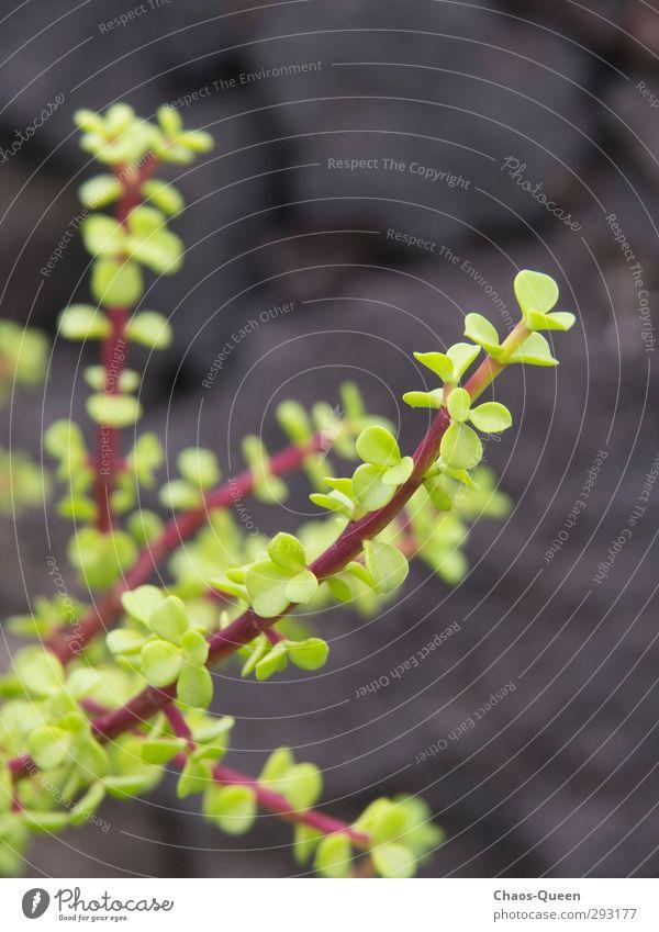 Pflänzchen in der schwarzen Lavawüste Expedition Natur Tier Frühling Pflanze Sträucher Blatt Grünpflanze Felsen Vulkan Mauer Wand Stein exotisch natürlich schön