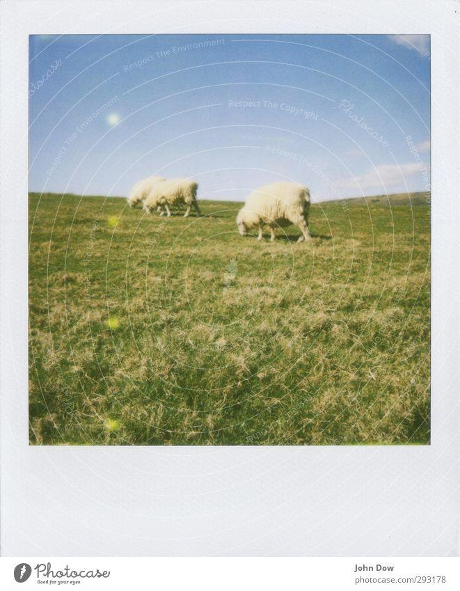 Pola-Schaf Himmel Natur Sommer Landschaft Wolken Wiese Gras Frühling weich retro analog Fressen Nostalgie Grasland England