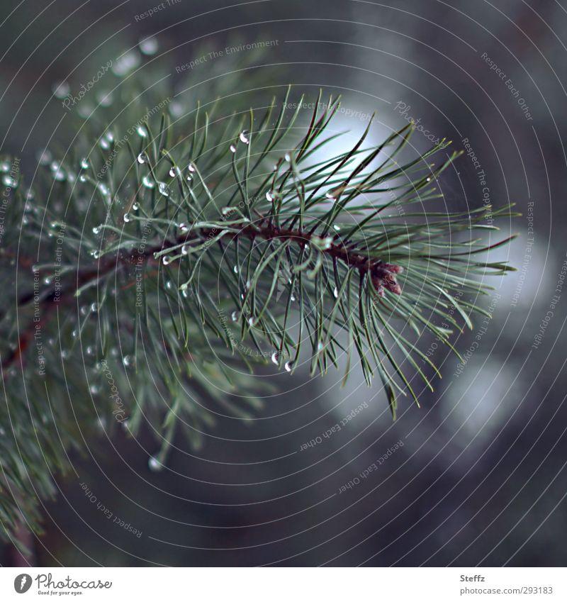 Waldschönheit Natur Landschaft Pflanze Klima Wetter Regen Baum Kiefer Kiefernnadeln Tannennadel Nadelbaum Zweig Wassertropfen Tau Fichte Nadelwald nass
