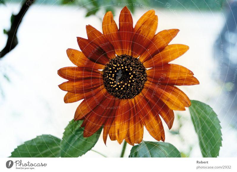 Die rote Sonnenblume Sommer Blühte Detailaufnahme Beleuchtung