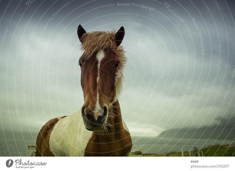 Isländer Umwelt Natur Landschaft Tier Himmel Wolken Gewitterwolken Klima schlechtes Wetter Wiese Nutztier Wildtier Pferd Tiergesicht 1 stehen warten dunkel wild