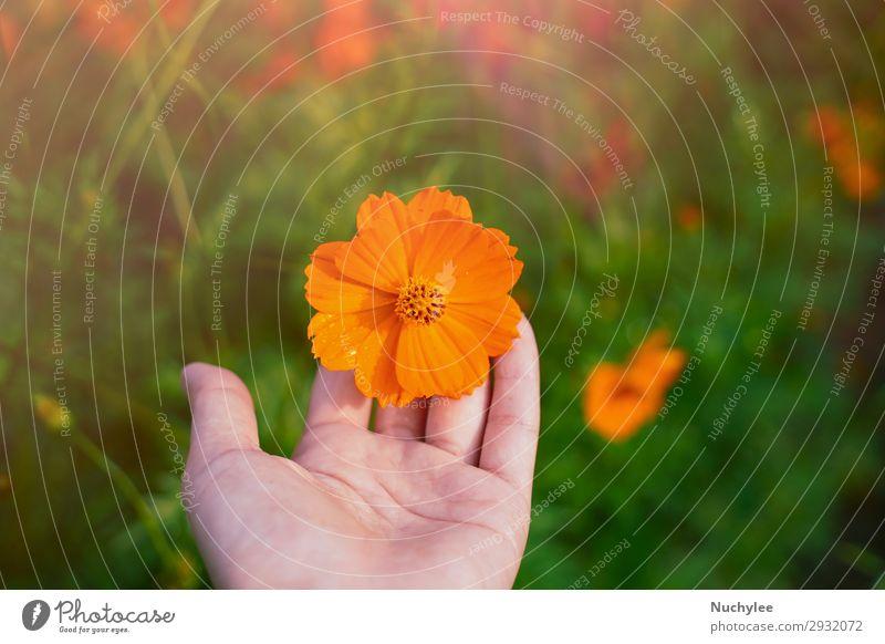 Hand haltend blühende orangefarbene Kosmosblume schön Sommer Garten Frau Erwachsene Natur Pflanze Frühling Blume Blüte Wachstum frisch hell natürlich gelb grün