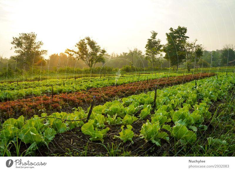 Landschaft des Bio-Gemüseanbaus Bauernhofes Sommer Garten Natur Pflanze Blatt Wachstum außergewöhnlich frisch natürlich grün rot Schonung Salat produzieren