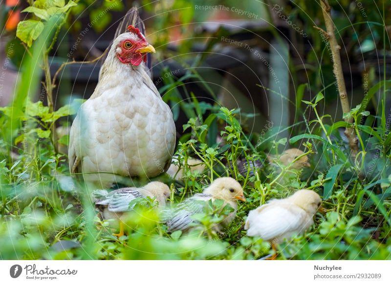 Mutter Henne mit Huhn im grünen Gras Fleisch schön Baby Umwelt Natur Tier Wiese Vogel Flügel stehen frei natürlich niedlich weiß Federvieh Pute Bauernhof Hahn
