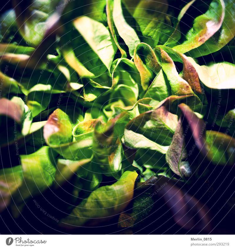 Grünfutter grün Essen Gesundheit frisch Ernährung genießen Diät Salat Salatbeilage Vegetarische Ernährung