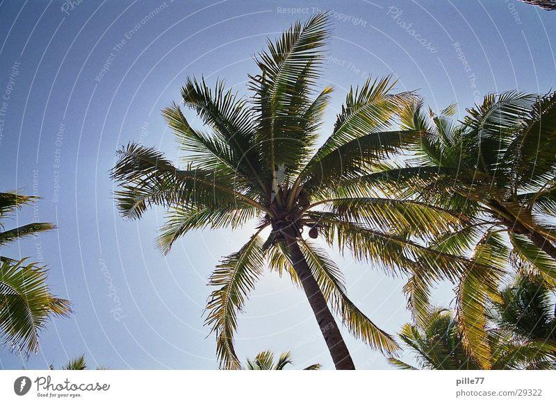 Palme in Mex Playa del Carmen Mexiko