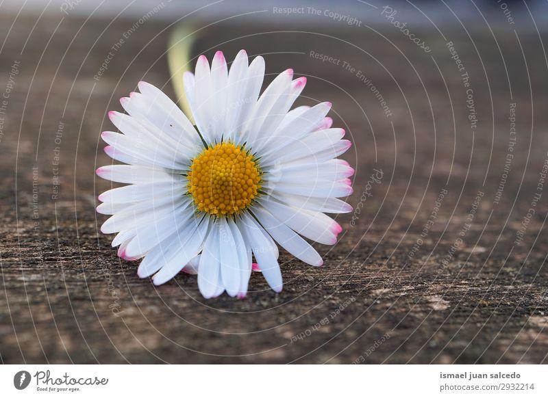 weiße Gänseblümchenblume in der Natur im Sommer Korbblütengewächs Blume Blütenblatt Pflanze Garten geblümt Dekoration & Verzierung Romantik Beautyfotografie