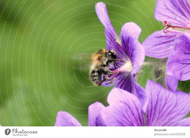 Von Bienchen und Blümchen Natur Pflanze Blüte 1 Tier Arbeit & Erwerbstätigkeit Biene fleißig ansammeln Honigbiene violett Sommer Farbfoto Außenaufnahme