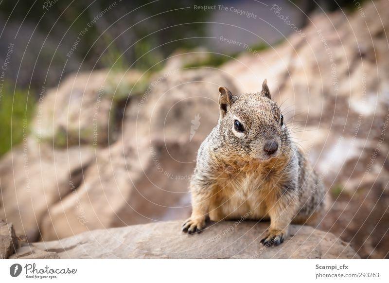 Neugierde Tier Berge u. Gebirge braun Horizont Stimmung Kraft Wildtier Zufriedenheit frei niedlich beobachten Hoffnung Idee Fell Tiergesicht