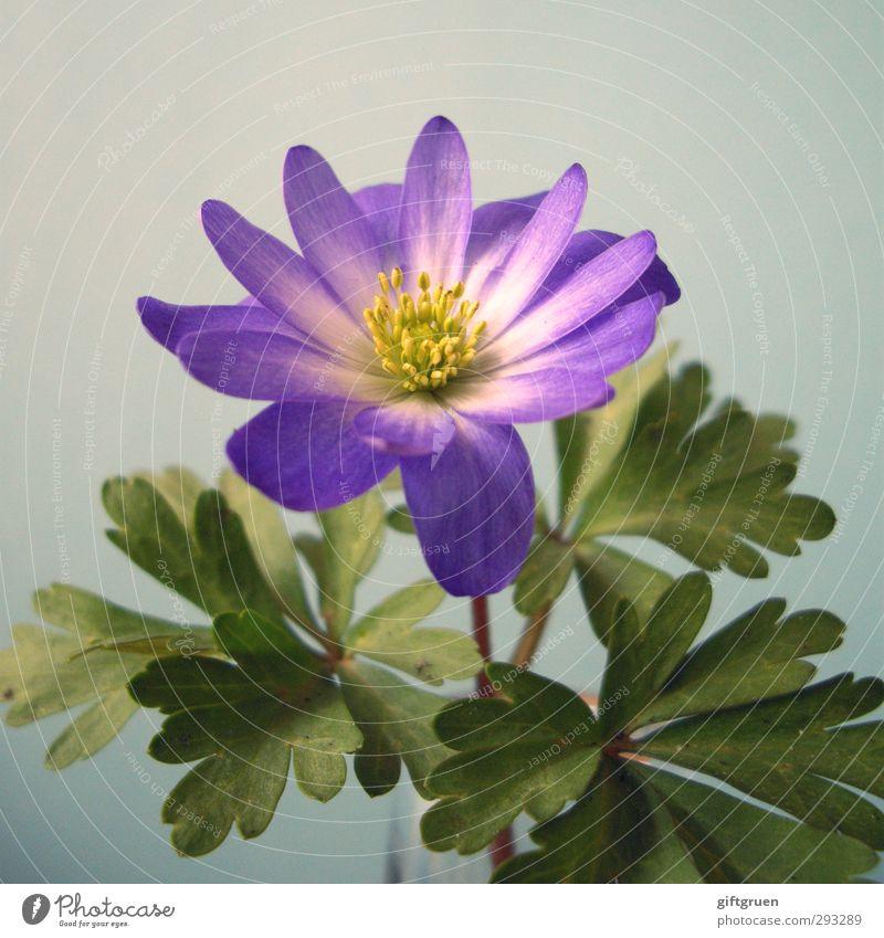 a hint of spring Natur Pflanze Blume Blatt Blüte Blühend Frühling Frühlingsblume Stempel Pflanzenteile gelb violett grün Blütenblatt aufwachen Farbenspiel zart