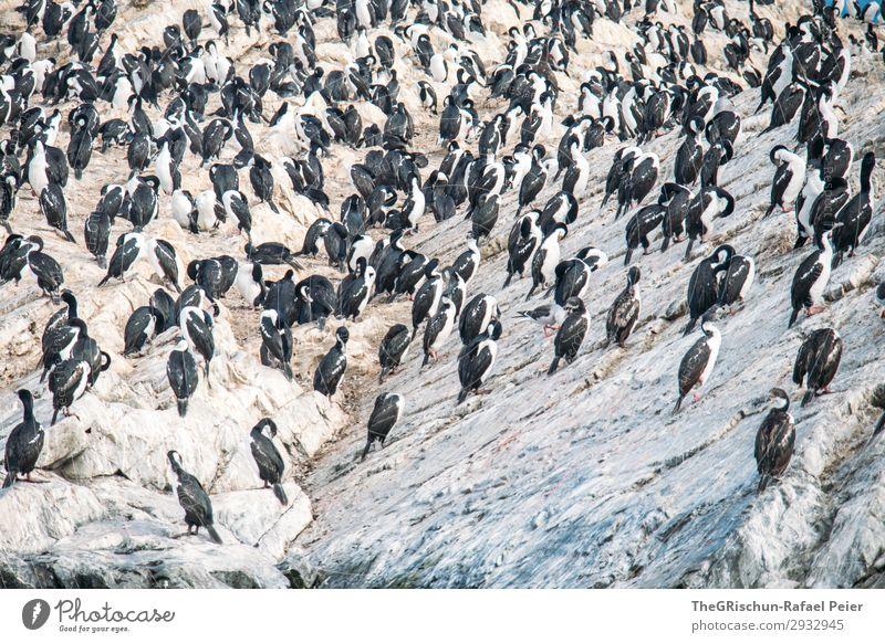 kormoran Tier Wildtier braun grau schwarz silber weiß Vogel Kormoran Südamerika tierra del fuego Felsen Vogelkolonie Häusliches Leben fliegen Schwimmsport