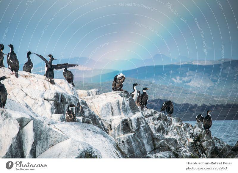 kormoran Tier Vogel weiß Kormoran Regenbogen Felsen fliegen Häusliches Leben Meerwasser Leidenschaft Wind Schwimmsport Flügel Argentinien tierra del fuego