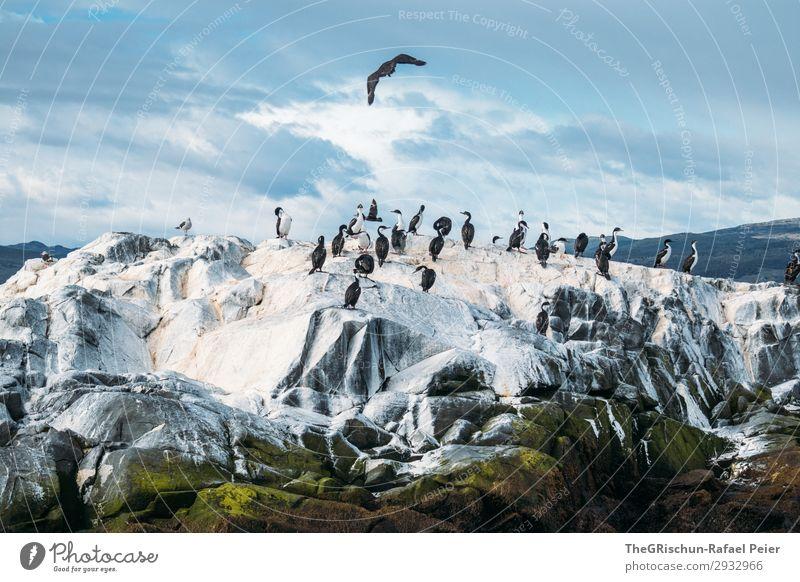 kormorane Tier Tiergruppe blau schwarz weiß Vogel fliegen Landen Felsen Wolken Schwarm Vogelkolonie tierra del fuego rau kalt Argentinien Südamerika Süden