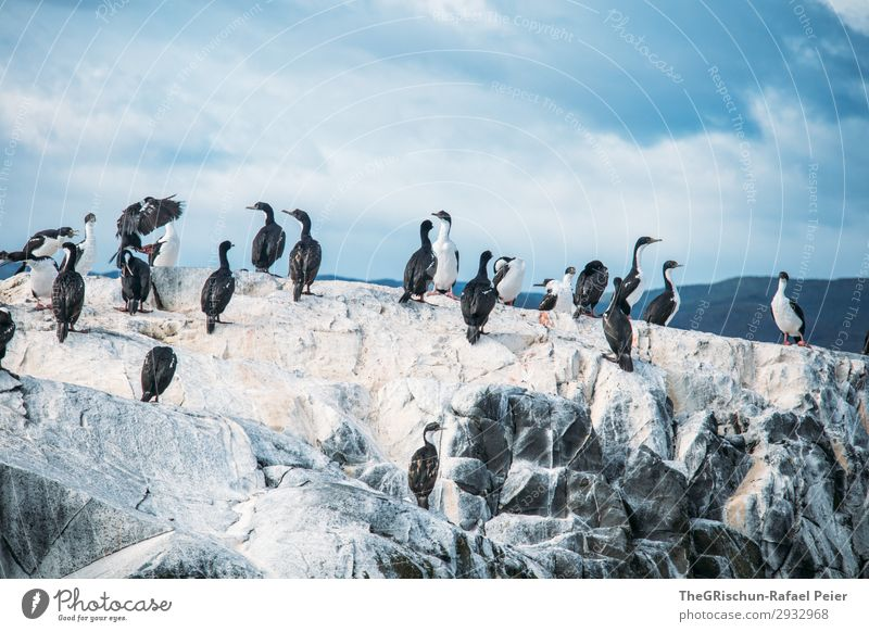 kormoran Umwelt Tier Tiergruppe Schwarm blau weiß Menschengruppe Vogel fliegen Schwimmsport Felsen rau kalt Feder Himmel Wolken tierra del fuego Südamerika
