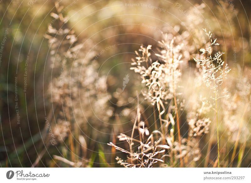besonnen Natur Sommer Pflanze ruhig Wiese Wärme Herbst Gras natürlich leuchten Idylle Schönes Wetter weich Blühend verblüht Allergie
