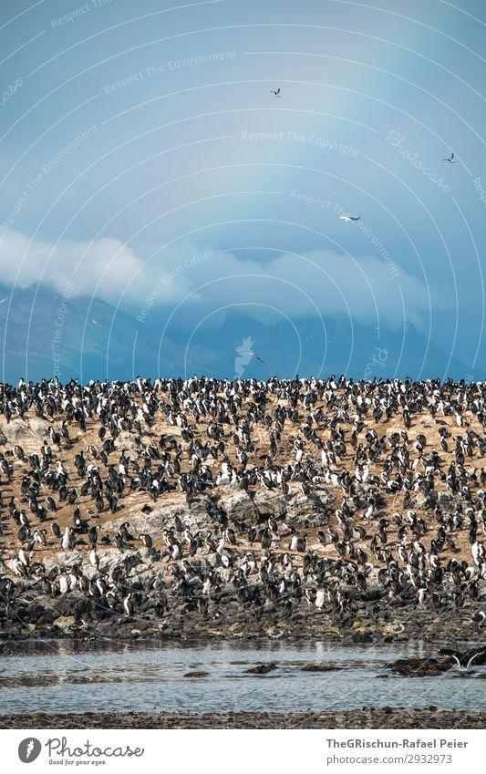 kormorane Tier Tiergruppe Schwarm blau braun schwarz weiß Vogel Vogelkolonie Meer Wind Regenbogen Wolken ushuaia tierra del fuego Südamerika kalt Argentinien