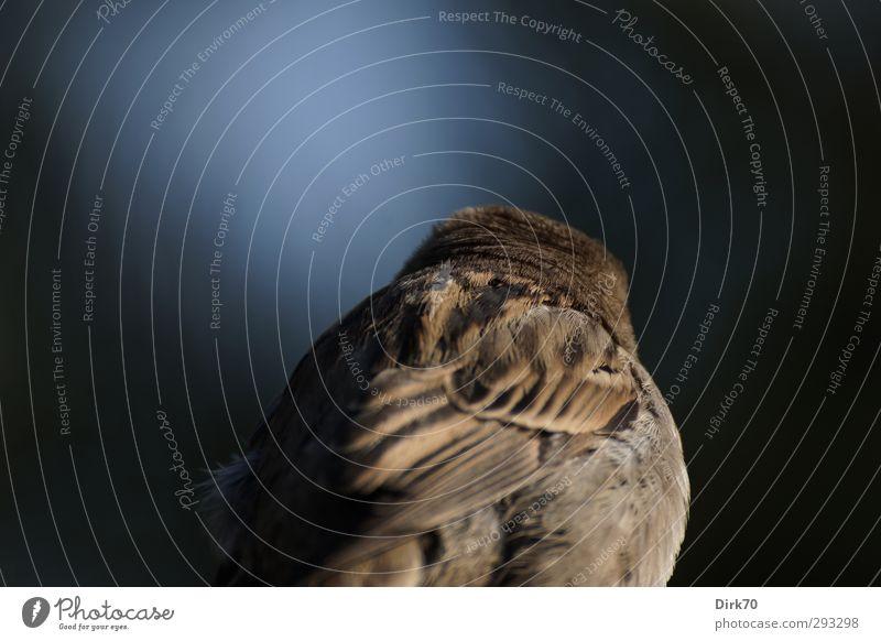 Spatz von hinten blau Einsamkeit Tier schwarz kalt grau braun Vogel Wildtier Feder Flügel Rücken Müdigkeit Erschöpfung Frustration