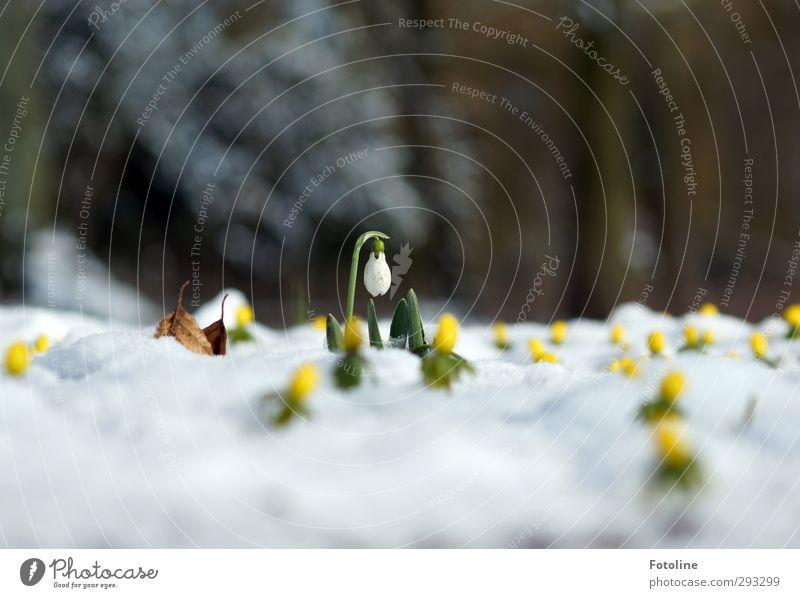 Den Winter in die Knie zwingen Umwelt Natur Pflanze Frühling Schönes Wetter Schnee Blume Blüte Garten Park Coolness hell kalt klein natürlich braun gelb grün