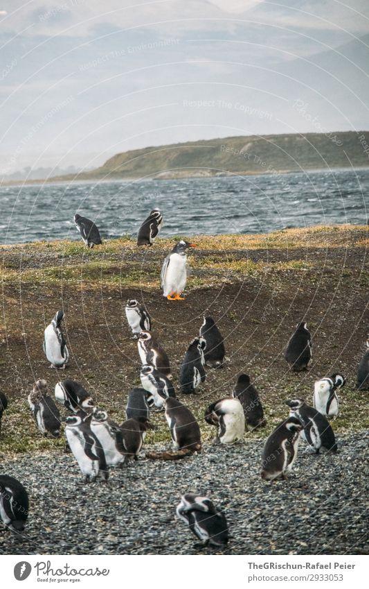 Pinguine Tier Tiergruppe blau orange feuerland Südamerika tollpatschig Schwimmsport elegant ushuaia Argentinien Vogelkolonie Farbfoto Außenaufnahme Menschenleer