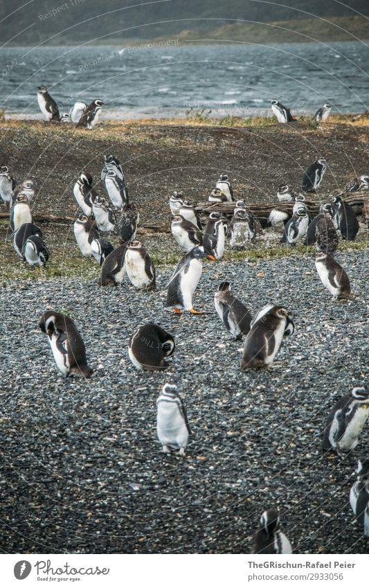 Pinguine Tier Tiergruppe schwarz weiß Vogelkolonie Stein rau Schwimmsport stolzieren tollpatschig watscheln Wasser Meer Südamerika Argentinien Farbfoto