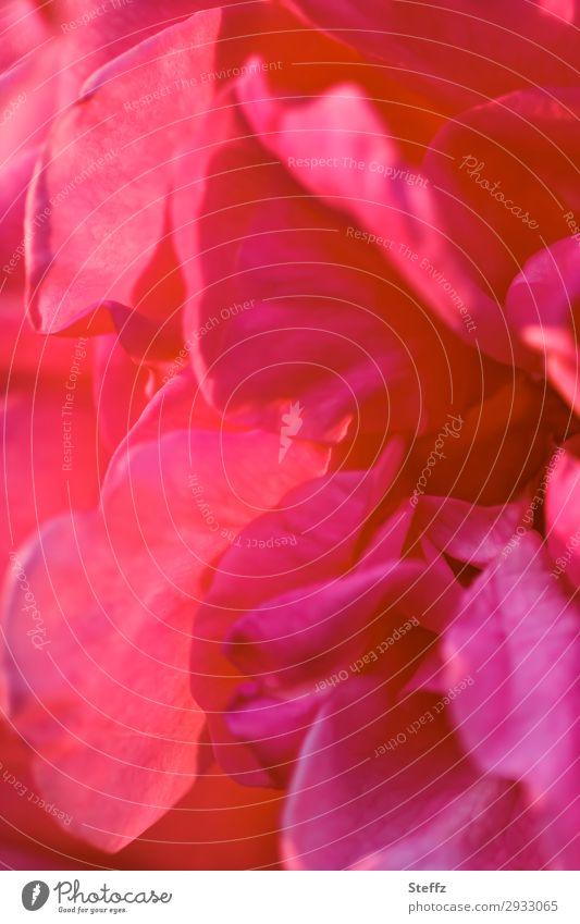 Scarlet Natur Pflanze Sommer Blume Blüte Rose Rosenblüte Blütenblatt Gartenblume Blühend Duft elegant natürlich schön rot Romantik Sommergefühl purpur Unschärfe