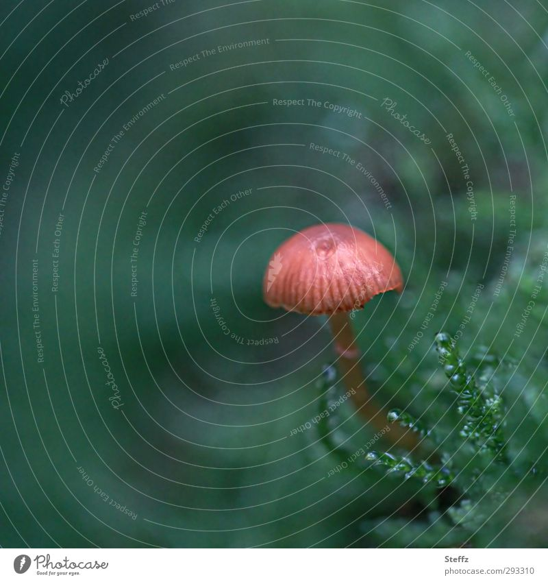 ein Winzling Pilz Herbst Pilzhut Moos Herbstwald Waldboden Waldpilz Waldstimmung moosgrün klein nah wachsen November Oktober Herbststimmung Sporen winzig