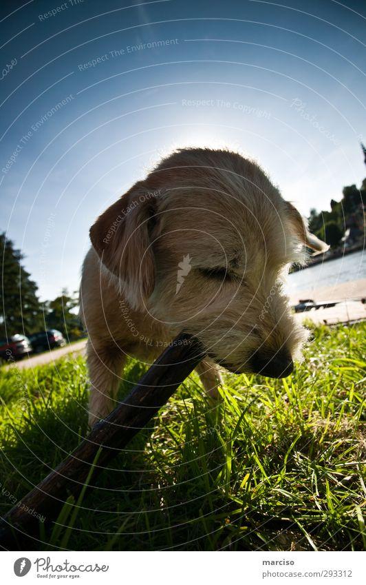 Paula Hund Himmel Natur Sommer Sonne Freude Tier Umwelt Spielen Holz blond Kraft Freizeit & Hobby frisch Schönes Wetter Fröhlichkeit