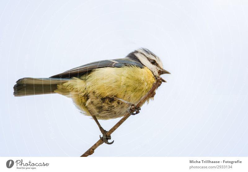 Singende Meise auf einem Zweig Natur Tier Himmel Sonnenlicht Schönes Wetter Baum Zweige u. Äste Wildtier Vogel Tiergesicht Flügel Krallen Blaumeise Meisen