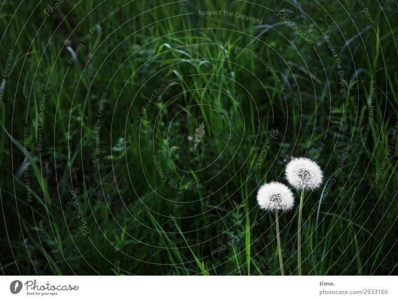 oO Umwelt Natur Landschaft Pflanze Gras Wildpflanze Löwenzahn Wiese Wachstum dunkel grün weiß selbstbewußt Freundschaft Zusammensein Liebe Verliebtheit Romantik