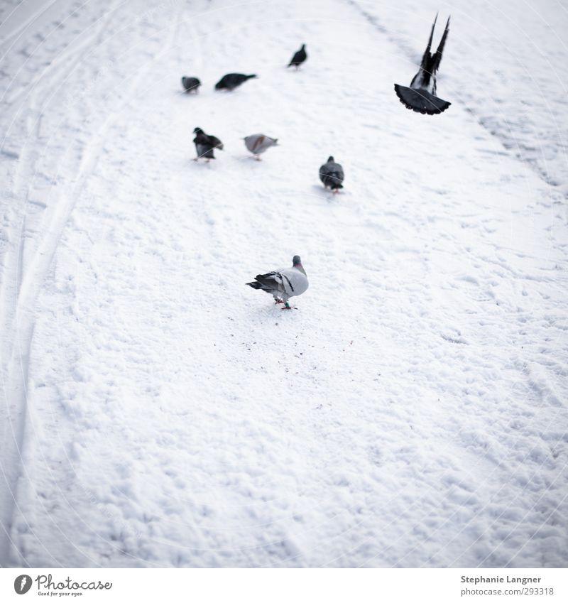 Abflug Umwelt Winter Schnee Park Menschenleer Tier Taube Flügel Schwarm fliegen frieren weiß Zufriedenheit ruhig photocase Gedeckte Farben Außenaufnahme