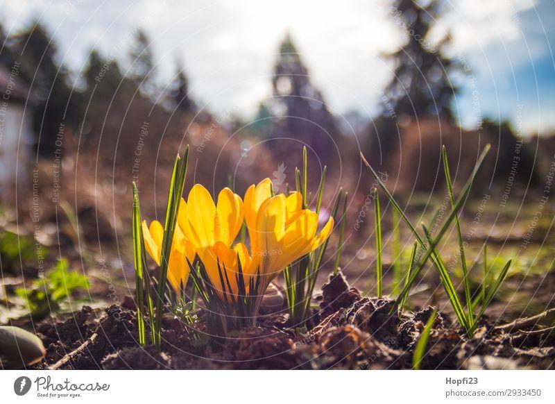 Gelbe Krokuse Umwelt Natur Landschaft Pflanze Erde Himmel Wolken Sonne Sonnenaufgang Sonnenuntergang Frühling Schönes Wetter Blume Blüte Garten Duft schön blau