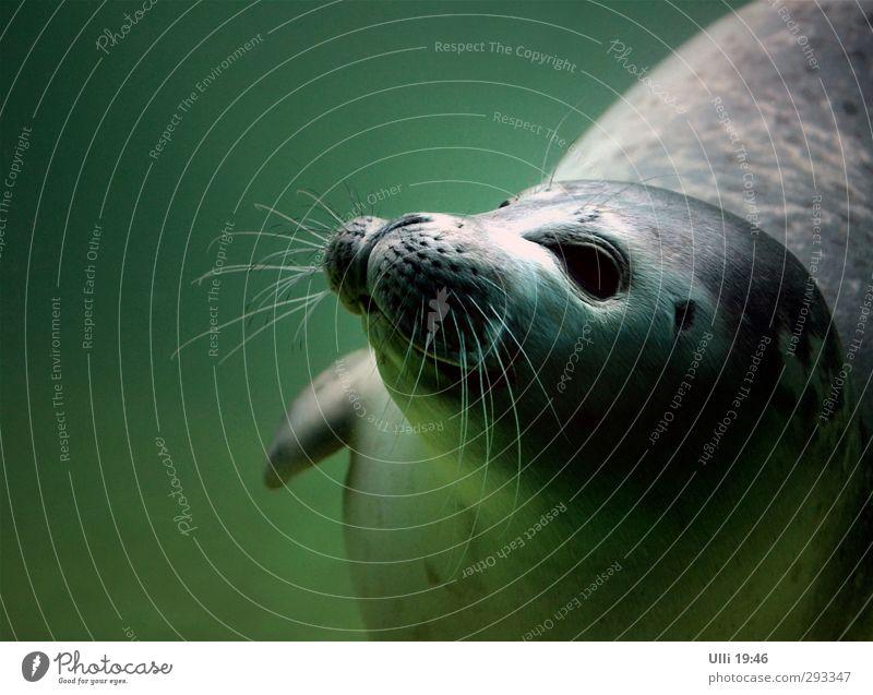 Wer bist du denn? grün Wasser Meer Freude Tier Tierjunges Spielen grau Schwimmen & Baden Kraft Wildtier elegant nass Geschwindigkeit ästhetisch niedlich