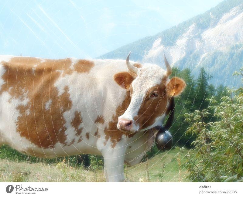 Lila Kuh die nicht lila ist :-) muhen Fell braun weiß Glocke Kuhglocke Milchkuh Wiese Verkehr Alpen Berge u. Gebirge Horn Weide