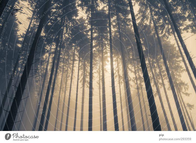 hochnebel Herbst Winter schlechtes Wetter Nebel Baum Fichtenwald Tanne Nadelwald Baumstamm Ast Wald braun gelb Natur Umwelt Froschperspektive oben Dunst