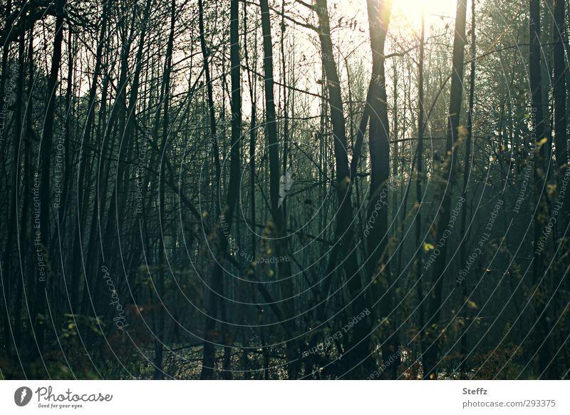 und nur das Licht kommt durch Natur Baum ruhig Winter dunkel Wald Umwelt Traurigkeit Angst Sträucher geheimnisvoll Baumstamm Lichtschein unheimlich Lichteinfall