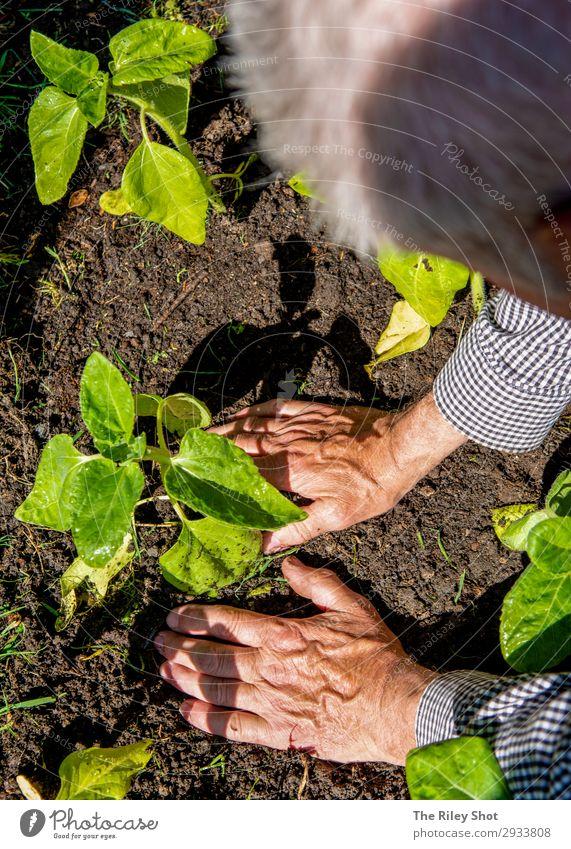 Ein pensionierter Mann pflanzt im Frühjahr Sonnenblumen in sein Blumenbeet. Erholung Freizeit & Hobby Sommer Garten Arbeit & Erwerbstätigkeit Gartenarbeit