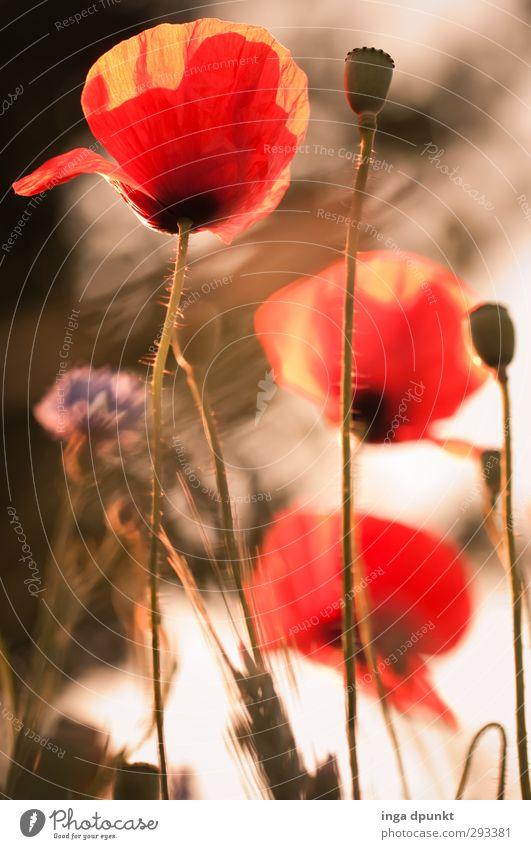 Unter den Mohnblüten Natur schön Sommer Pflanze rot Umwelt Wiese Garten natürlich Schönes Wetter Jahreszeiten Blumenwiese Wiesenblume Wildpflanze