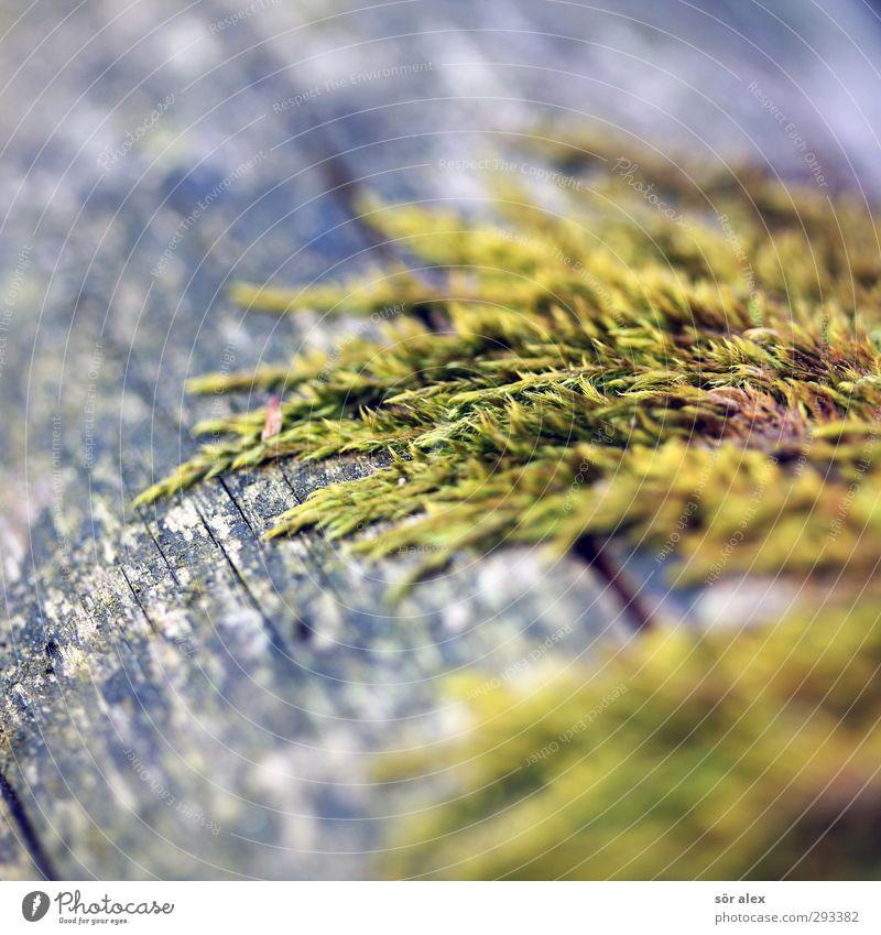 Moostoupet Umwelt Natur Pflanze Tier Wildpflanze Wachstum grün nachhaltig Holz Moosteppich Farbfoto Außenaufnahme Detailaufnahme Makroaufnahme Menschenleer