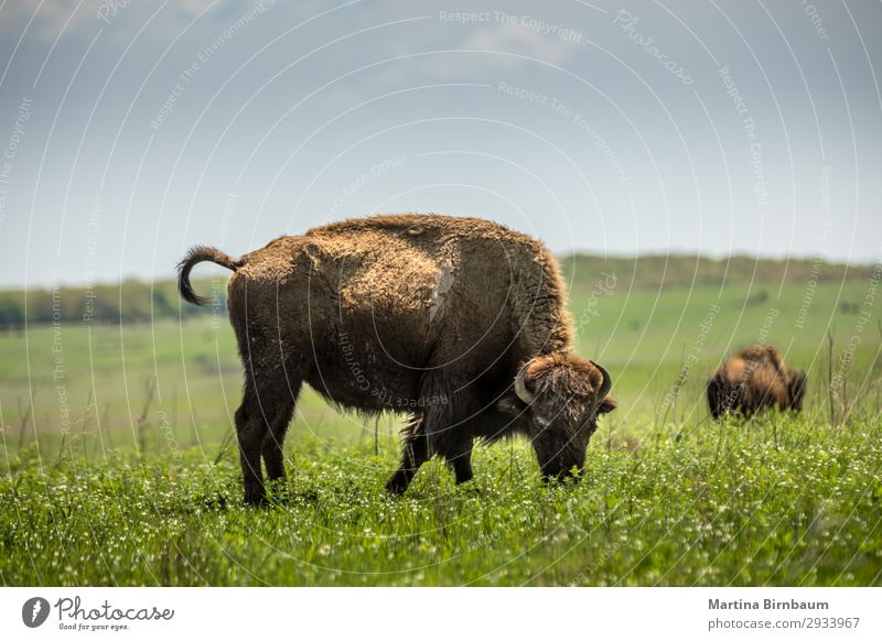 American bison American Oklahoma USA Natur Sommer gelb springen planen Nationalitäten u. Ethnien Bison