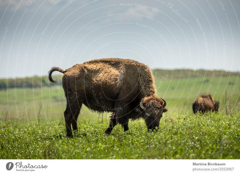 American bison American Oklahoma USA Sommer Natur springen gelb Nationalitäten u. Ethnien american animal artiodactyla Bison blm bovidae brown buffalo district
